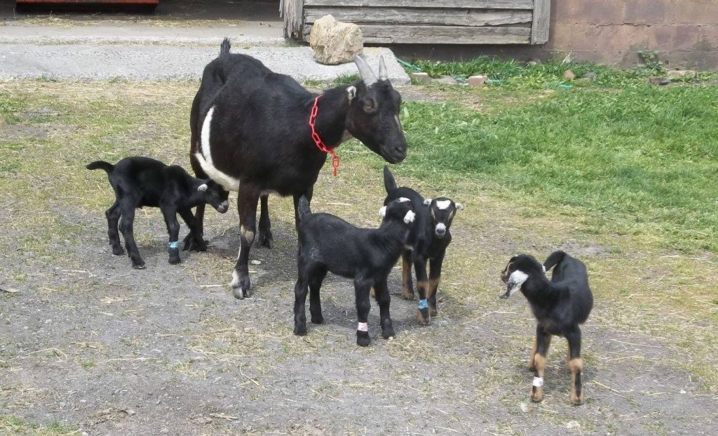 mom goat with baby goats